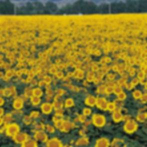 sunflower%20field%20image_edited.jpg
