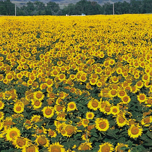 sunflower%20field%20image_edited.jpg