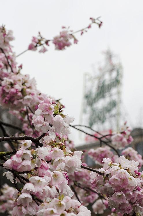 Flowering Portland, Oregon 12x8