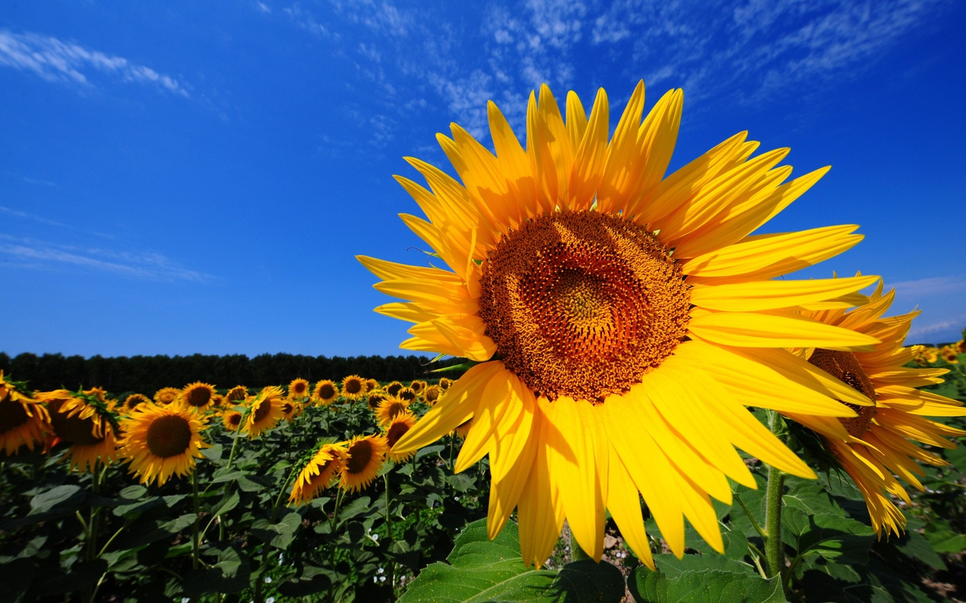 tuscany sunflower-fields
