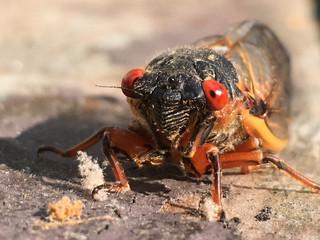 Cicada Year