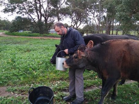 Cows Gone Wild