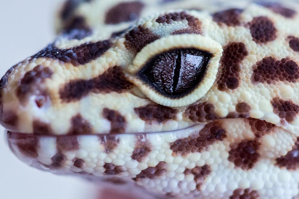 Macro shot of a leopard gecko