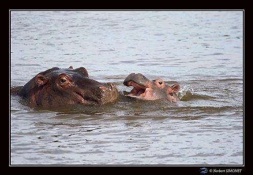 Hippopotame mère et petit 3 - Cadre Pays