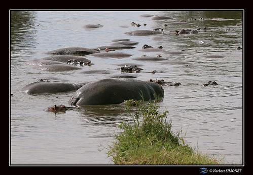 Hippopotames de dos - Cadre Paysage - Se