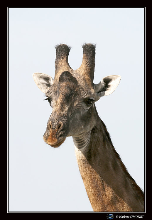Girafe_tête_face_GP_-_Cadre_Paysage_-_P