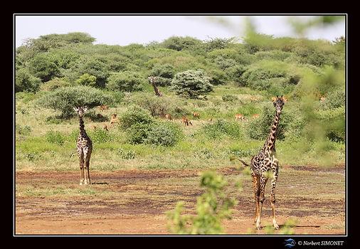 Girafes et impalas paysage bis - Cadre P