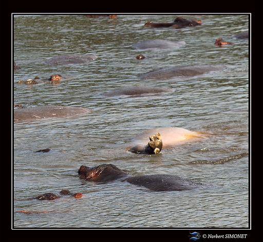 Hippopotame patte hors de l'eau - Cadre