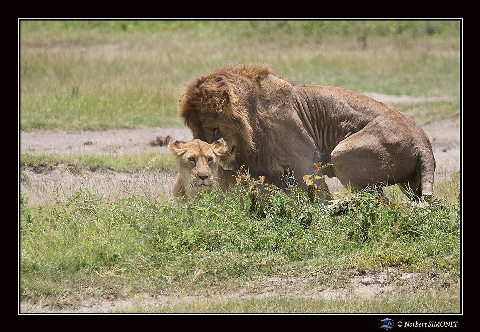 Lion_couvre_la_lionne_1_-_Cadre_Paysage_