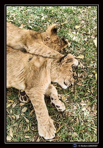Lionceaux sieste 1 - Cadre Portrait - Ra