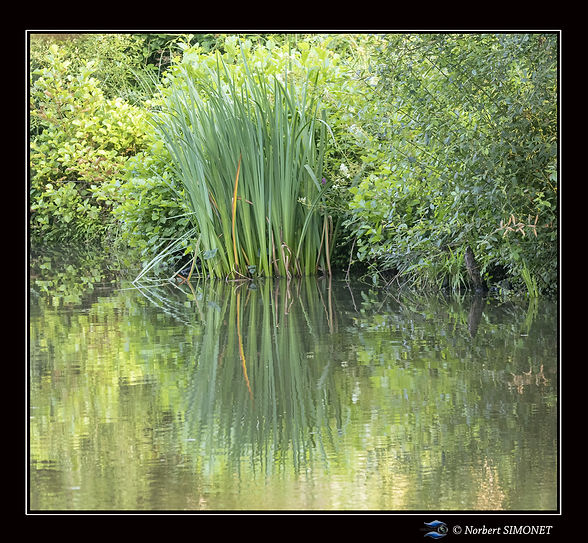 Roseaux plan d'eau - Cadre Carré - Les Butineuses 28072021.jpg