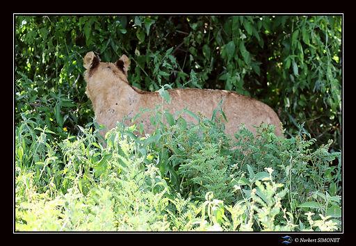 Lionne debout dans les herbes - Cadre Pa