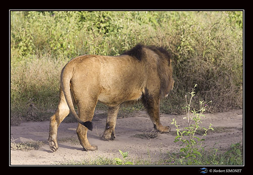 Lion entier profil marche bis - Cadre Pa