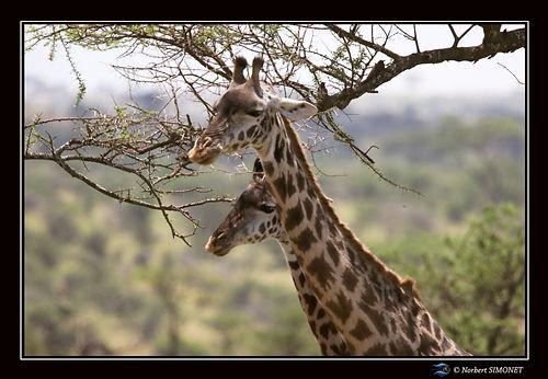 Girafes tête côte à côte - Cadre Paysage