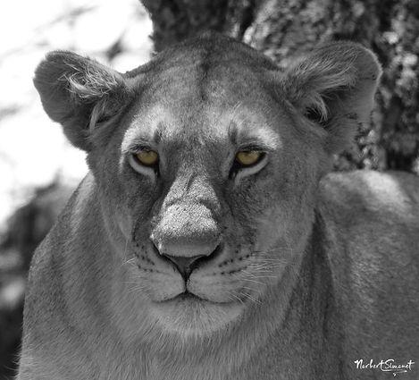 Lionne regard.jpg