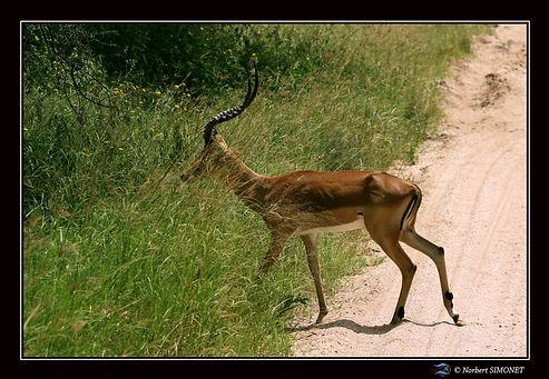 Gazelle de grant traverse la piste - Cad