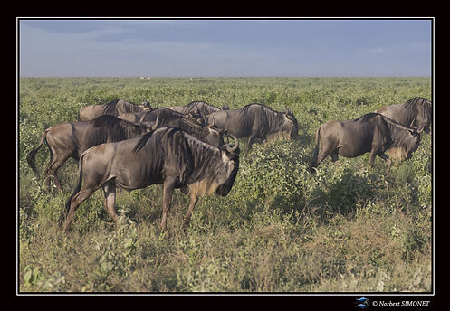 Gnous marchent profil - Cadre Paysage -