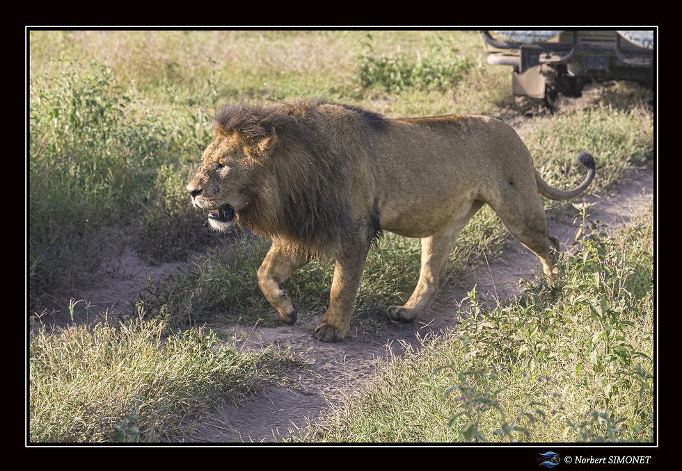 Lion marche devant un 4x4 - cadre Paysag