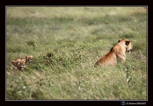 Lionnes dans les herbes - Cadre Paysage