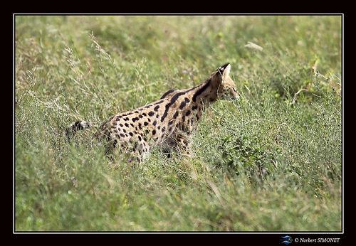 Serval de profil bis - Cadre Paysage - S