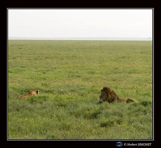 Lionne_couchée_et_lion_dans_les_herbes_