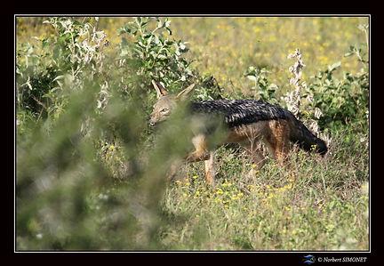 Chacal marche dans la brousse - Cadre Pa