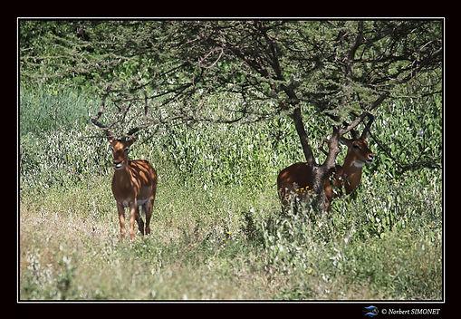 Impalas devant la tente bis - Cadre Pays