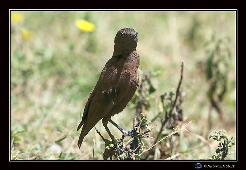 Oiseau_marron_face_-_Cadre_Paysage_-_Cra