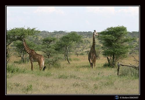 Girafes dans la brousse - Cadre Paysage