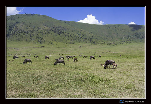 Gnous_dans_le_cratère_du_Ngorongoro_-Ca