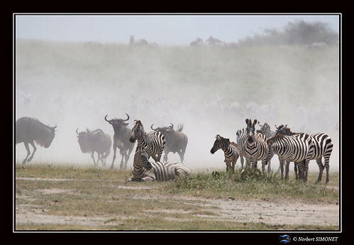 Zèbres_et_gnous_troupeau_en_migration_1