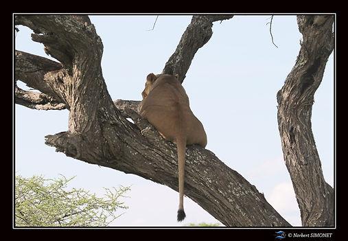 Lionne dort dans un arbre vue de dos - C