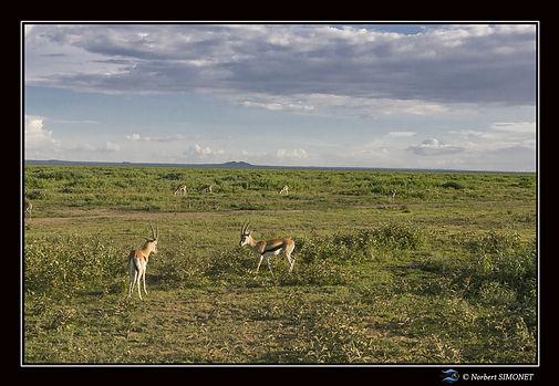 Gazelles Thomson - Cadre Paysage - Plain