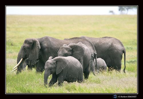 Eléphants_marchent_-_Cadre_Paysage_-_SÃ