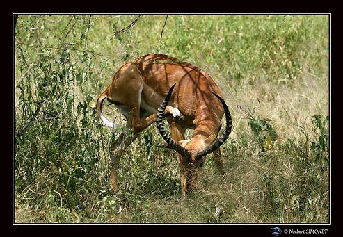 Gazelle de grant se gratte - Cadre paysa