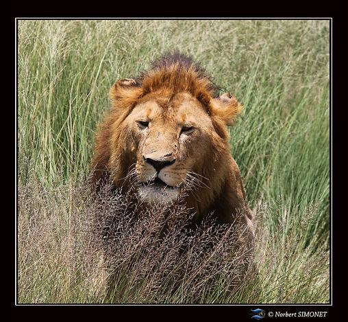Lion_debout_dans_les_herbes_-_Cadre_Carr