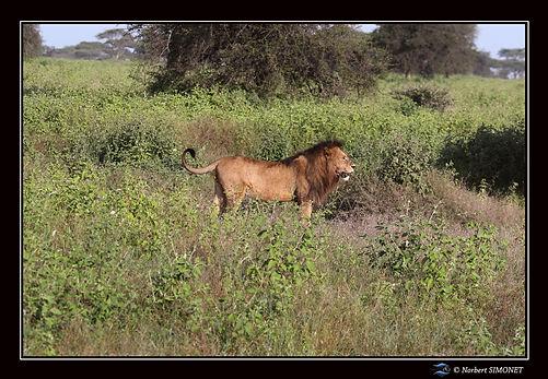 Lion profil droit entier - Cadre Paysage