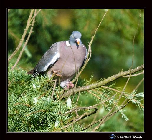 Pigeon_marche_sur_branche_GP_Carré_-_Plo