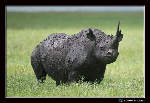 Rhinocéros_face_trois_quart_ter_-_Cadre