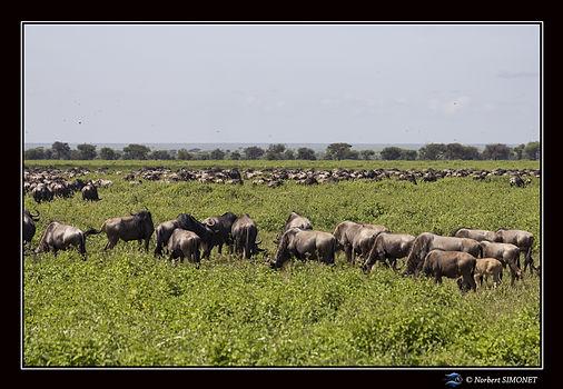 Gnous dans la plaine 3 - Cadre Paysage -