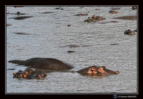 Hippopotames flottent 1 - Cadre Paysage