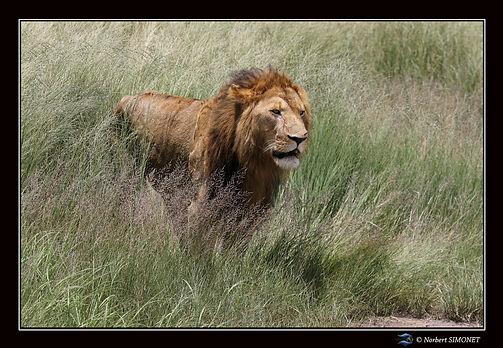 Lion debout sort des herbes - Cadre Pays
