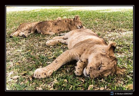 Lionceaux dorment - Cadre Paysage - Ranc