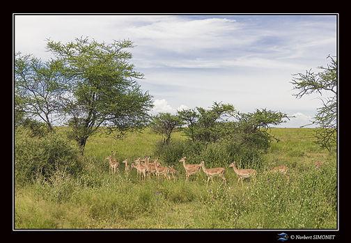 Gazelles harem sous les arbres - Cadre P