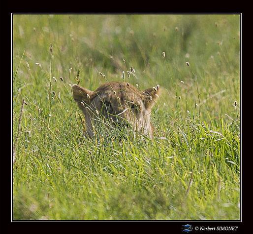 Lionne_tête_GP_dans_les_herbes_-_Cadre_