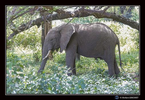 Elephants profil mange - Cadre Paysage -