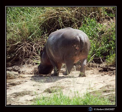 Hippopotame marche de dos - Cadre Carré