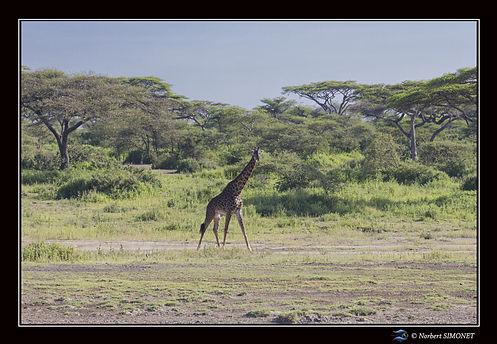 Girafe sort des bois - Cadre Paysage - P