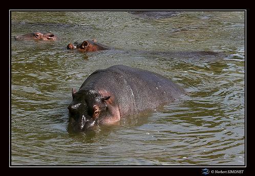 Hippopotames flottent 3 - Cadre Paysage