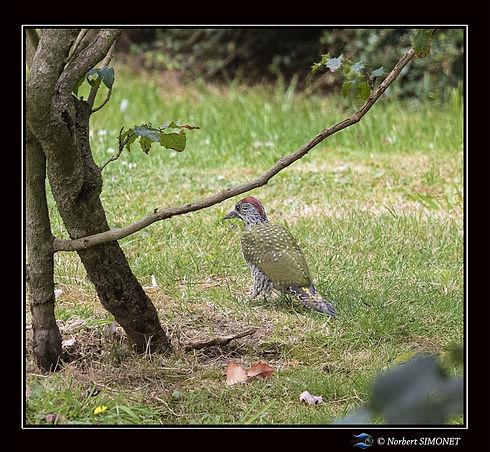 Pic vert - Plouasne - 28072020.jpg